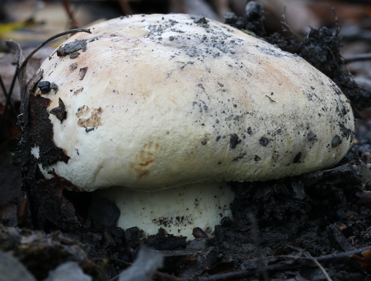 Gerippter Ritterling Tricholoma acerbum