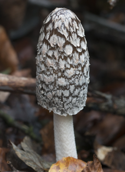 Spechttintling Coprinopsis picacea